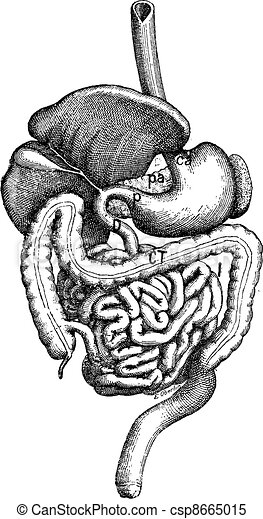 Intestine, vintage engraving. - csp8665015