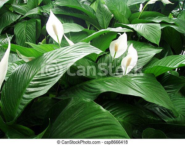 Spathiphyllum - csp8666418