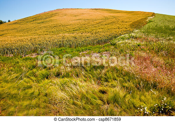 Green Wheat Grass Blue Skies Palouse Washington State - csp8671859