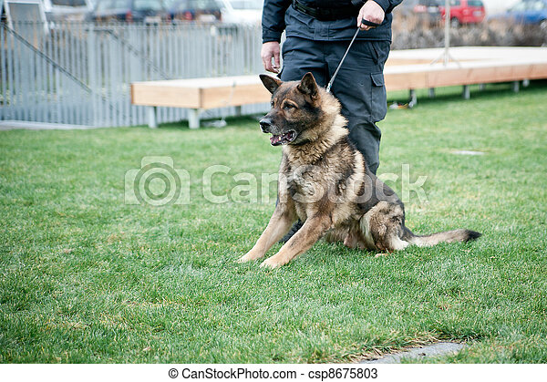 Guard dog on leash - csp8675803