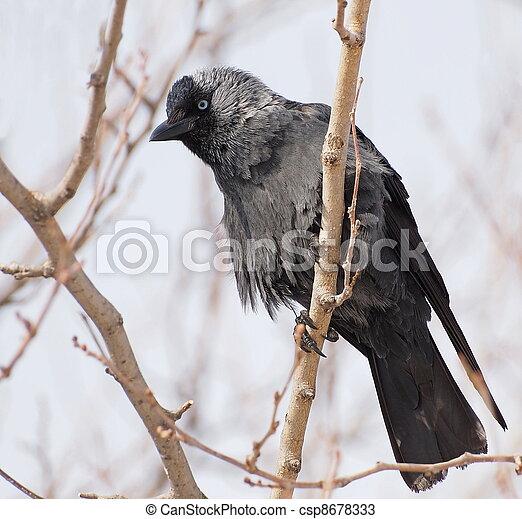 Jackdaw, Corvus monedula - csp8678333