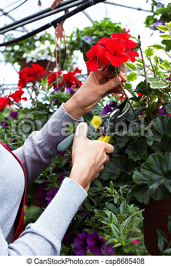 Florist woman cutting flowers. - csp8685408