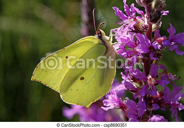 Gonepteryx rhamni, Brimstone - csp8690351