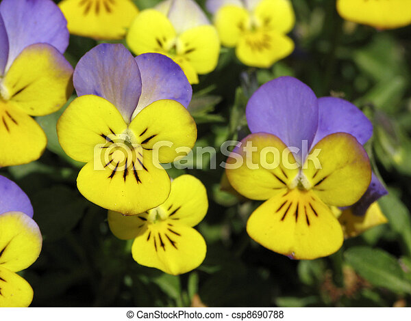 Horned Pansy, Horned Violet - csp8690788