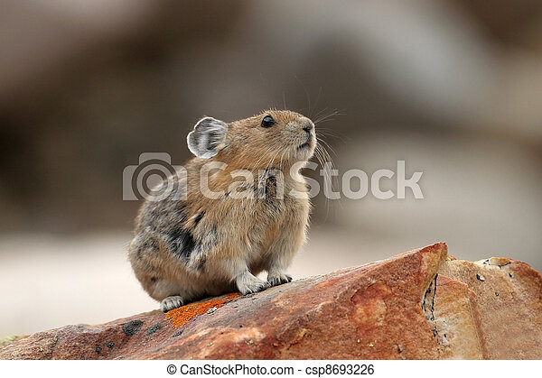 Pika - Jasper National Park - csp8693226