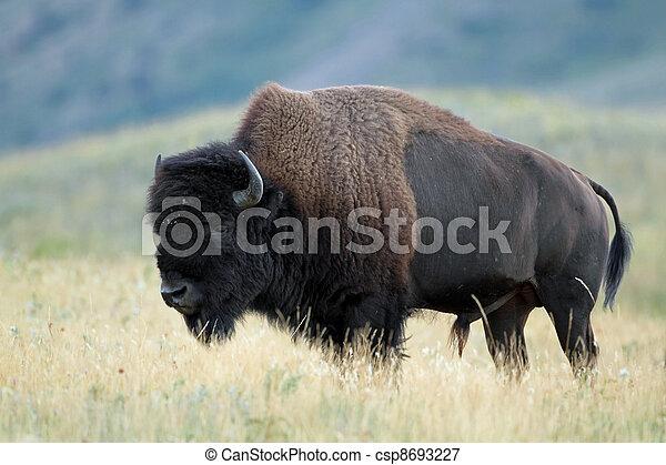 canada, pianure,  -,  Alberta, bisonte - csp8693227