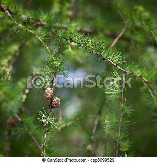 Relaxing larch greenery: closeup of European larch - csp8699529