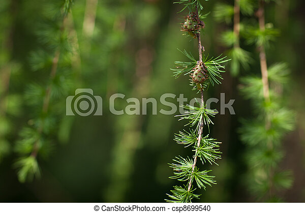 Relaxing larch greenery: closeup of European larch  - csp8699540