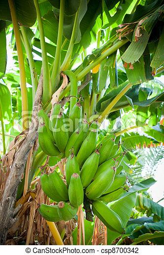Bunch of bananas hanging from a banana tree (Salalah, Oman) - csp8700342