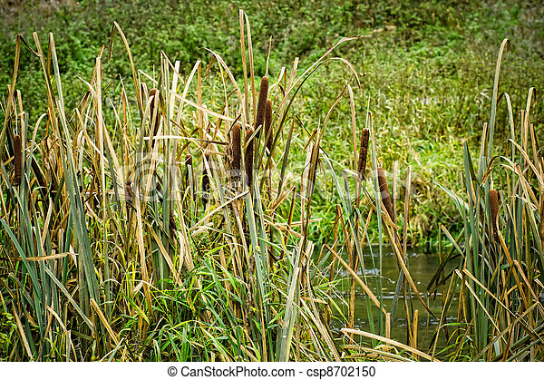 reeds at the pond - csp8702150