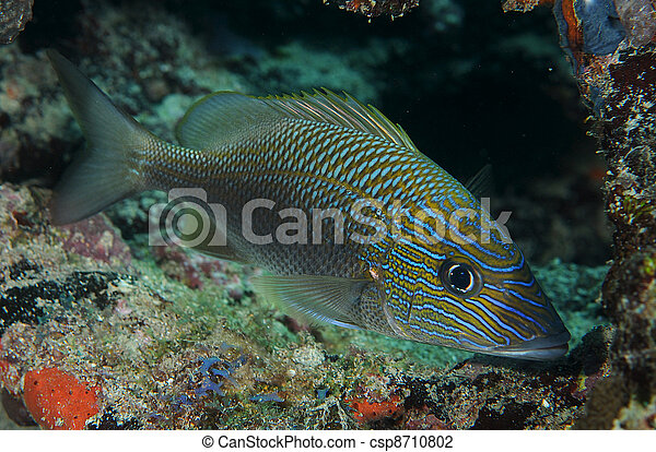 White Grunt Fish Sheltering in a small coral cave. - csp8710802