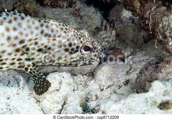 Greasy grouper (ephinephelus tauvina) in the Red Sea. - csp8712209