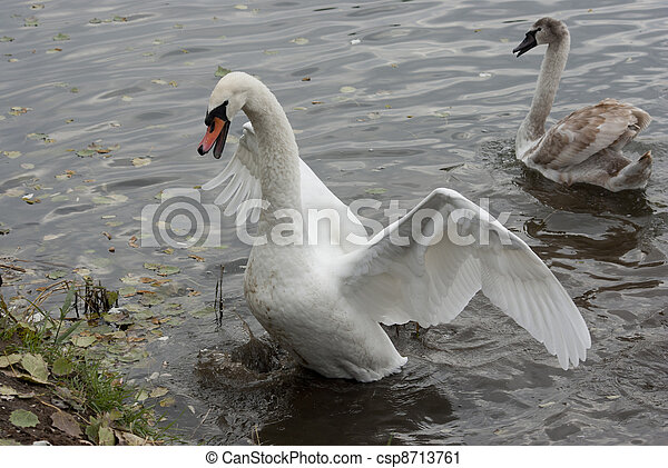 Swan defends chick. - csp8713761
