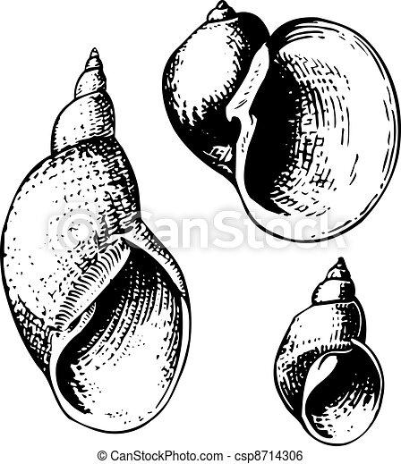 Seashell lymnaeidae - csp8714306
