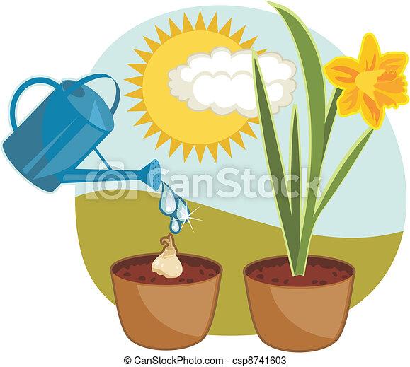 Growing Daffodil - csp8741603