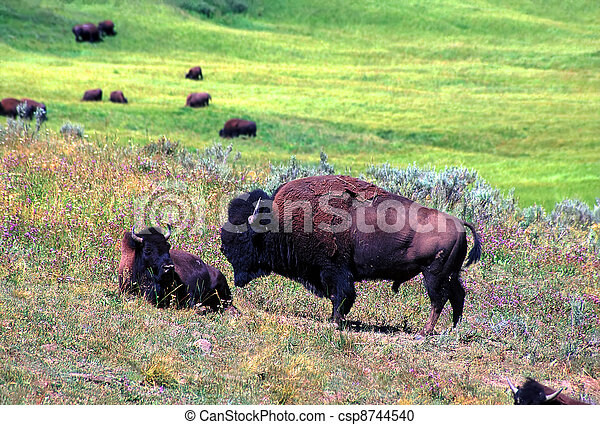 Bison - Yellowstone National Park - csp8744540