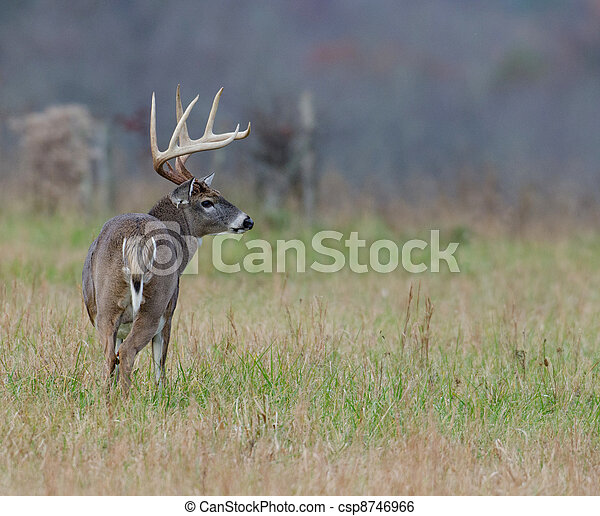 Whitetail deer buck in a foggy field - csp8746966