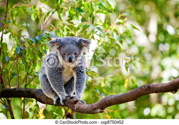Australian koala in its natural habitat of gumtrees - csp8750452
