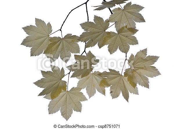 Pale yellow maple leaves isolated - csp8751071