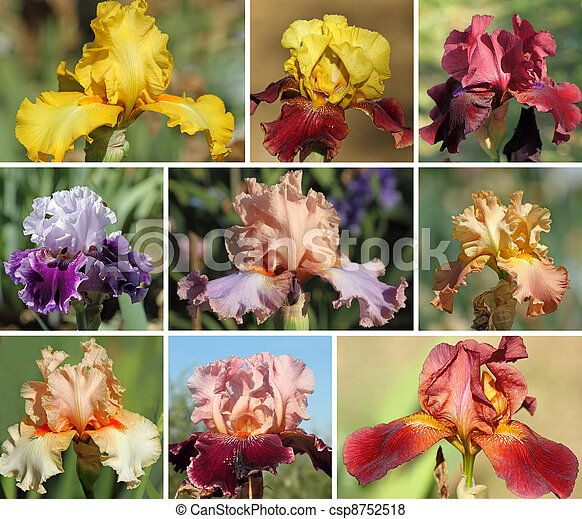 collection of colorful bearded iris
