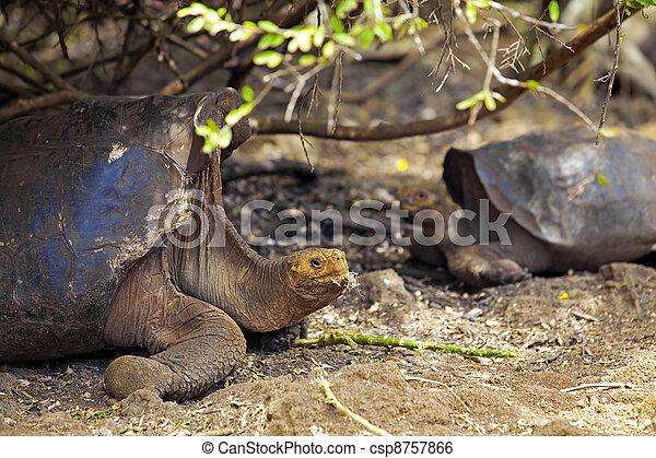 Galapagos tortoise - csp8757866
