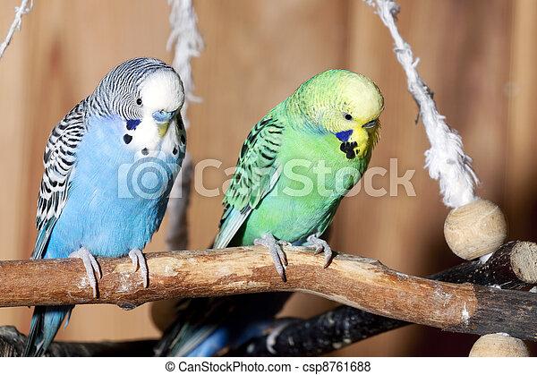 Pair of blue budgerigars - csp8761688