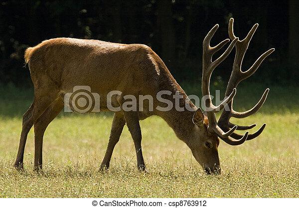 Red Deer - Cervus elaphus - csp8763912