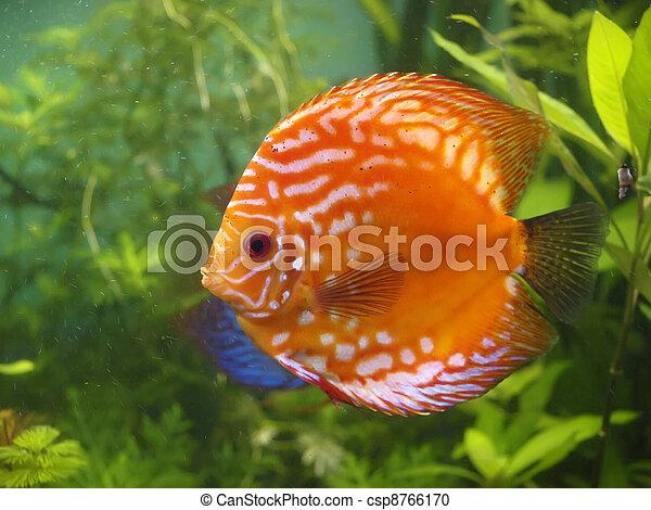 Symphysodon discus - csp8766170