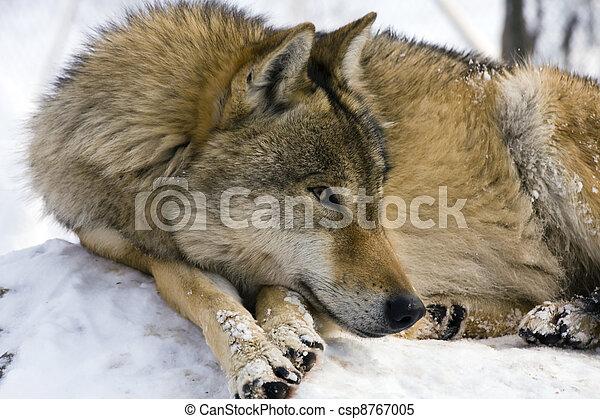European gray wolf - csp8767005