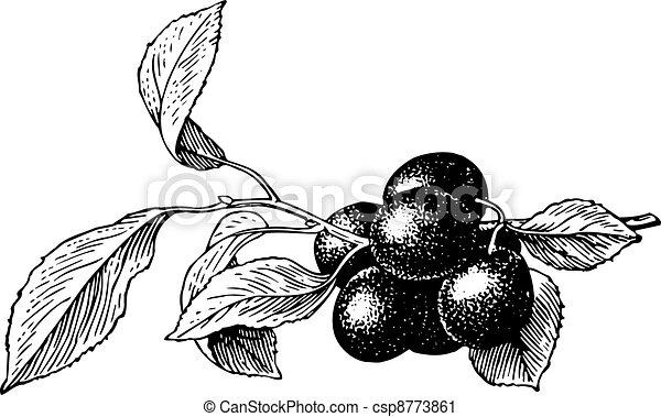 Plums (Prunus insititia) - csp8773861