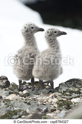Dominican gull chicks. - csp8784327