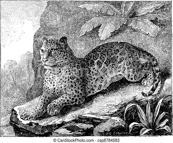 Jaguar, vintage engraving. - csp8784583