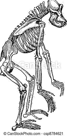 Skeleton of Gorilla vintage engraving - csp8784621