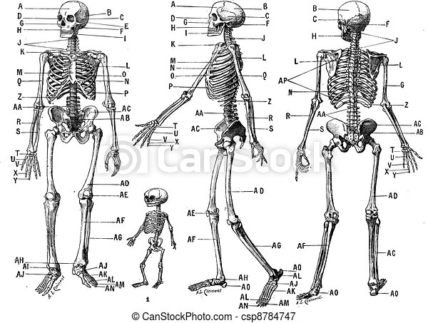 Human skeleton, vintage engraving. - csp8784747