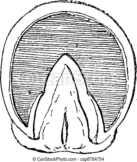 Horse's hoof (Front Upright) vintage engraving - csp8784754