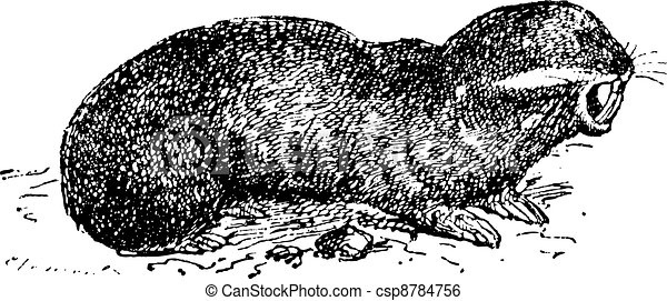 Spalax or mole rat, vintage engraving. - csp8784756