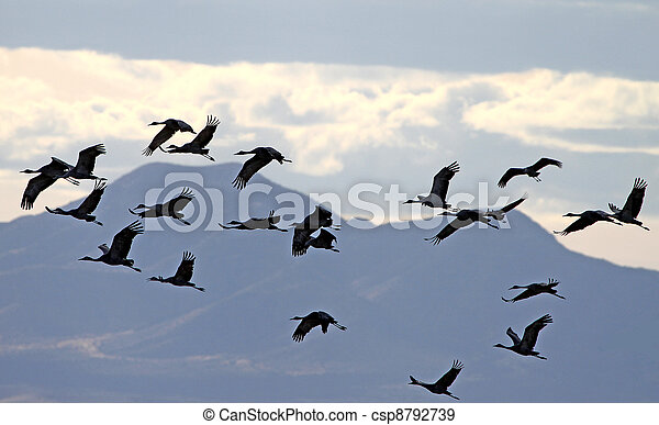 Sandhill Crane flock in flight 2 - csp8792739