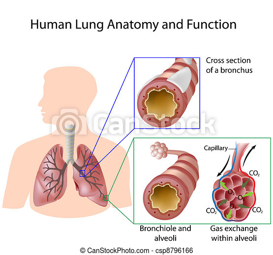 Human lung anatomy & function, eps8 - csp8796166