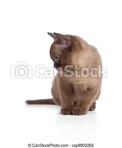 Sad Burmese cat sitting on white - csp8802262