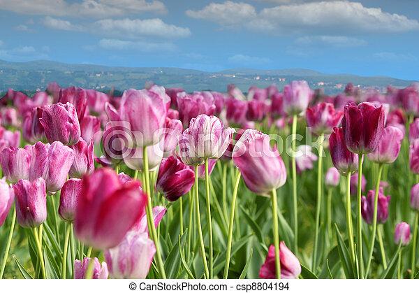spring tulip flower - csp8804194