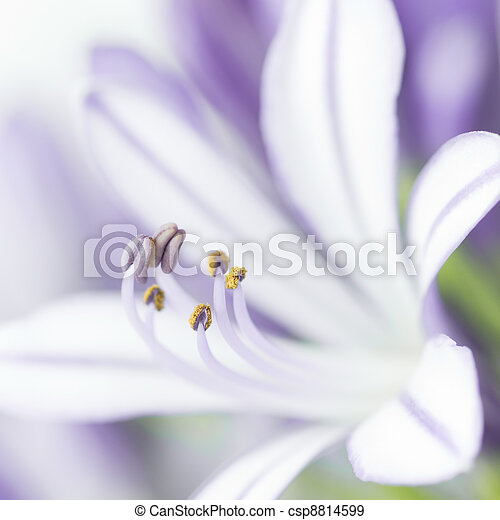 Closeup of purple agapanthus flower - csp8814599