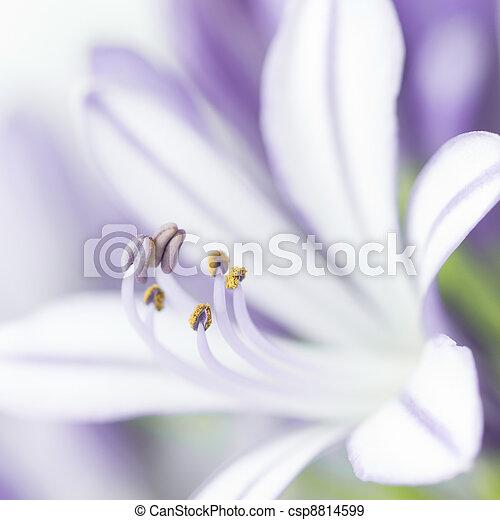 Closeup of purple agapanthus flower - csp8814599