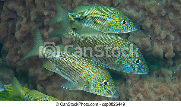 A Group of Three White Grunts near a barrel sponge. - csp8826449