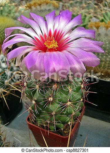photographies de fleur cactus - beautiful, rose, fleur cactus