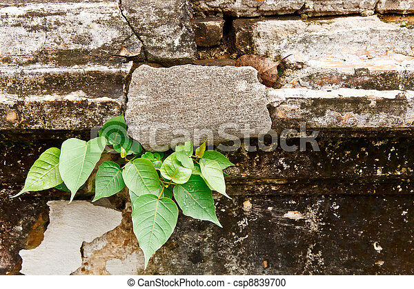 Bodhi tree growing on the cracked wall - csp8839700