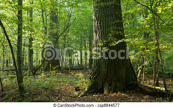Group of giant oaks in natural forest - csp8844577