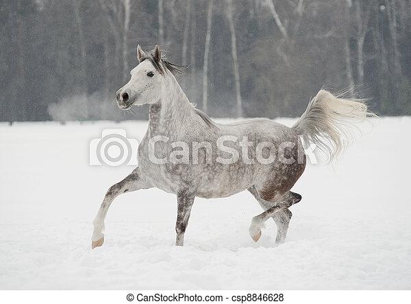arab horse in winter - csp8846628