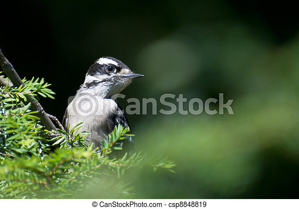 Downy Woodpecker Perched in Tree - csp8848819