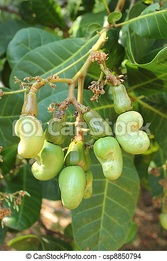 nuez, anacardo, árbol - csp8850794