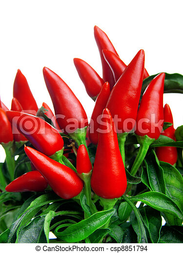 plant of red hot chili pepper, on white background